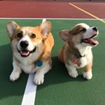 Huckleberry the Corgi